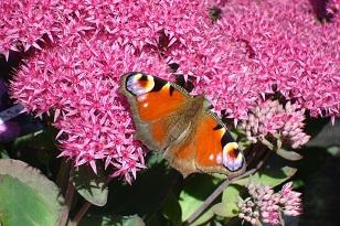Planten Voor Bijen.Meer Vlinders En Bijen In Je Tuin Tuinplantencentrum De Pauw