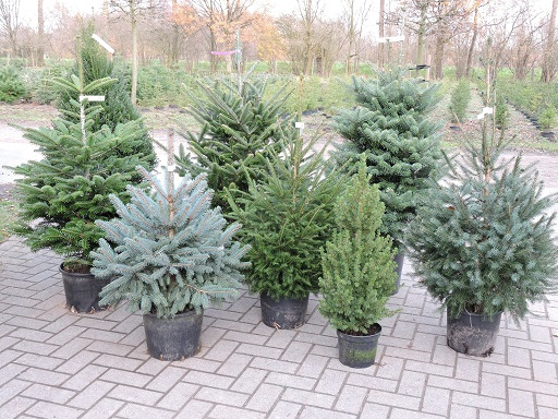 Hoe Plant Ik Mijn Kerstboom Terug In De Tuin Tuinplantencentrum