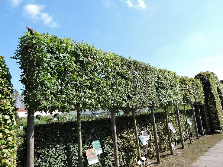 Parasolboom In Tuin : Leibomen tuinplantencentrum de pauw