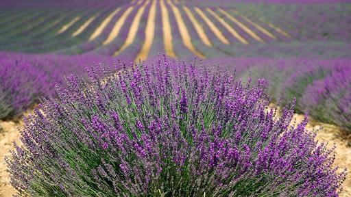 Lavendel In Grote Pot.Zuiderse Sfeer In Je Tuin Met Lavendel Tuinplantencentrum De Pauw