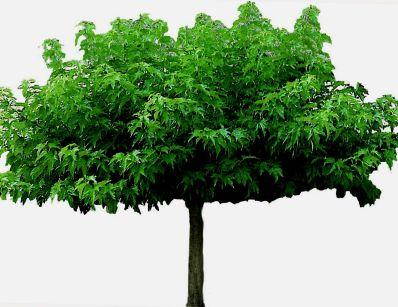 Parasolboom In Tuin : Dakbomen tuinplantencentrum de pauw