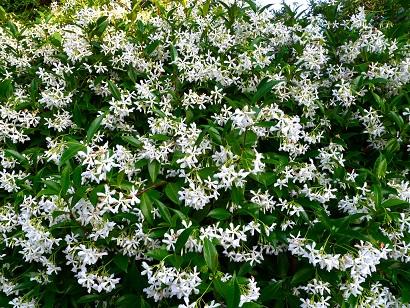 Struiken Met Bloemen Voor In De Tuin.Een Heerlijk Geurende Tuin Tuinplantencentrum De Pauw