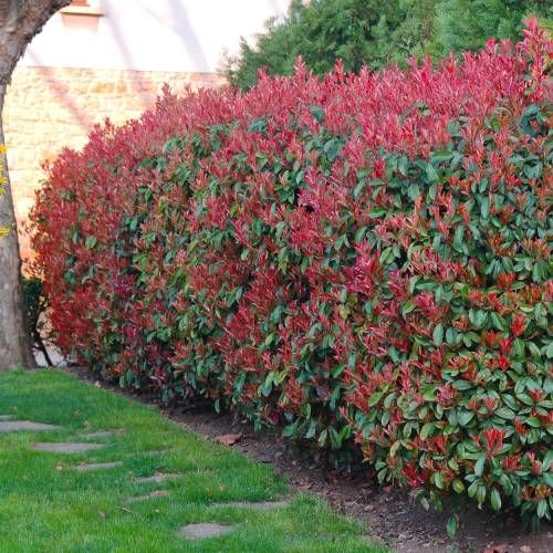 Photinia carré rouge