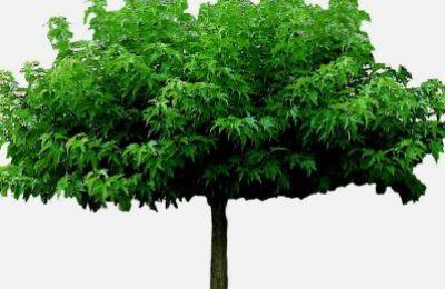 Hedendaags Dakbomen | Tuinplantencentrum De Pauw AC-68